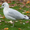 adult non breeding: non breeding adult, ring-billed gull: Larus delawarensis, Wildlife, winter plumage: winter-plumaged, Rideau River