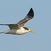 Crested Tern, The Broadwater, Gold Coast, Queensland.