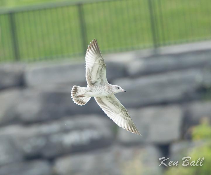 Avalon north pond, juvenile: immature, ring-billed gull: Larus delawarensis