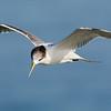 Immature Crested Tern