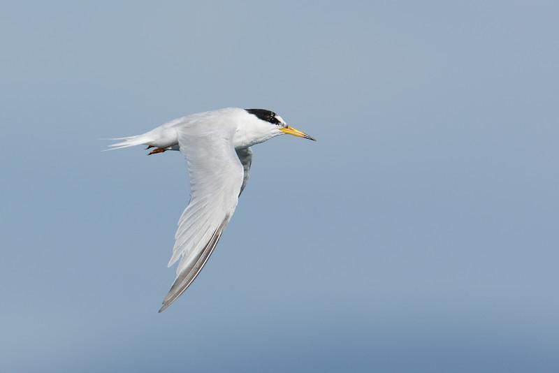 Little Tern in breeding plumage (Sternula albifrons)