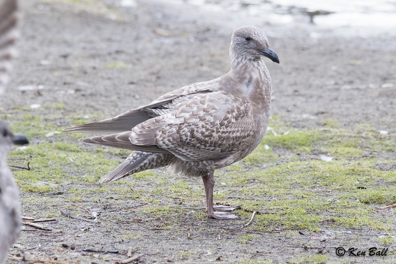 glaucous-winged gull: Laurus glaucescens, British Columbia, CA, Deer Lake Park, Metro Vancouver District