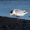 Little Tern (Sternula albifrons)