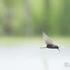 black tern: Chlidonias niger, breeding adult: adult breeding, Petrie Island
