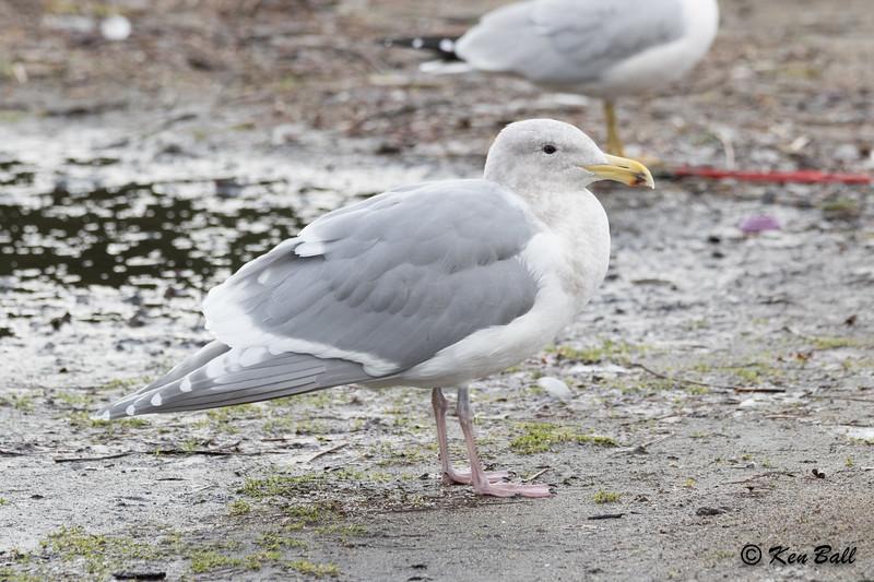 glaucous-winged gull: Laurus glaucescens, British Columbia, CA, Deer Lake Park, Metro Vancouver District