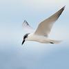 Gull-billed Tern (Gelochelidon nilotica), Unnamed Island. The Broadwater, Gold Coast, Queensl