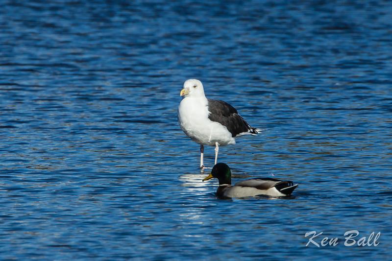 Dows Lake, great black-backed gull: Larus marinus