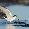 Little Tern in breeding plumage (Sterna Albifrons)
