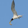 Crested Tern with a prawn