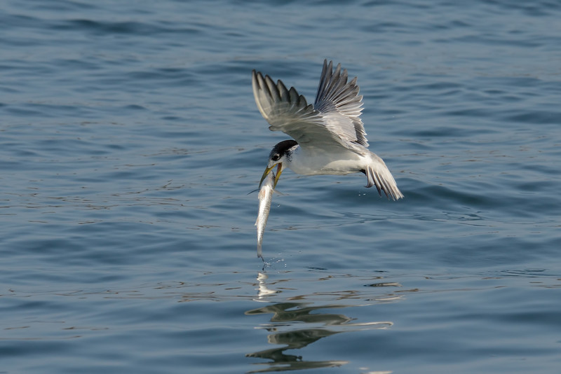 Immature Crested Tern with fish