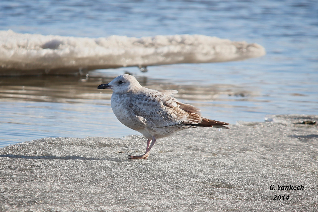 First Year Plumage<br /> <br /> Whitby Harbour, Whitby, Ontario