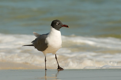 Laughing Gull - Perdido Key, Fl