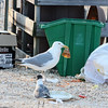 Gulls!