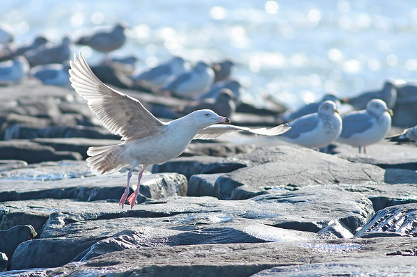 Great Black Backed X Glaucous Gull?