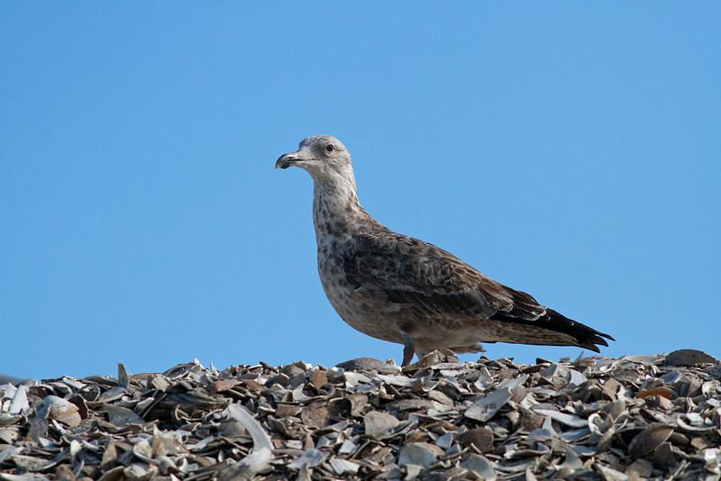 Lesser Black-backed Gull/Herring Gull hybrid? Herring Gull? LBBG?