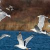 Adult Nelson's Gull (Glaucous X Herring Gull hybrid)