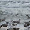 Possible Nelson's Gull (Glaucous X Herring hybrid)