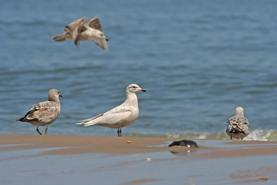 Iceland Gull and friends