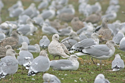 Iceland Gull and friends.