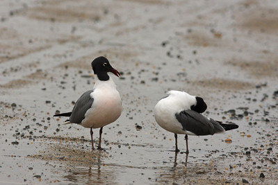 Laughing Gull s
