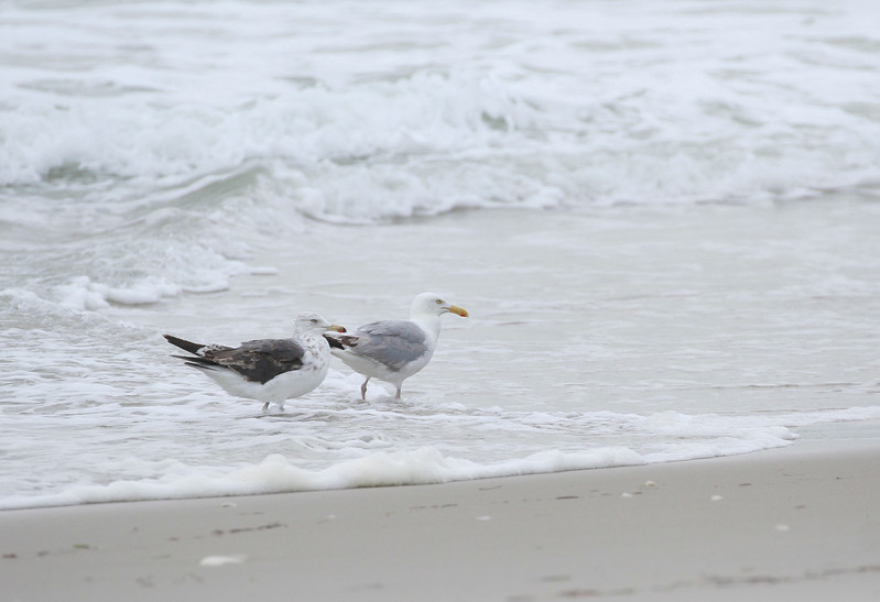 Lesser Black-backed Gull and Herring Gull