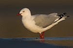 Red-billed Gull (Chroicocephalus scopulinus)