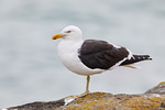 Southern Black-backed / Kelp Gull (Larus dominicanus)