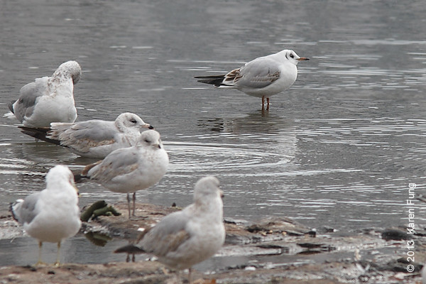 24 February: 1st winter Black-headed Gull in Central Park (Reservoir)