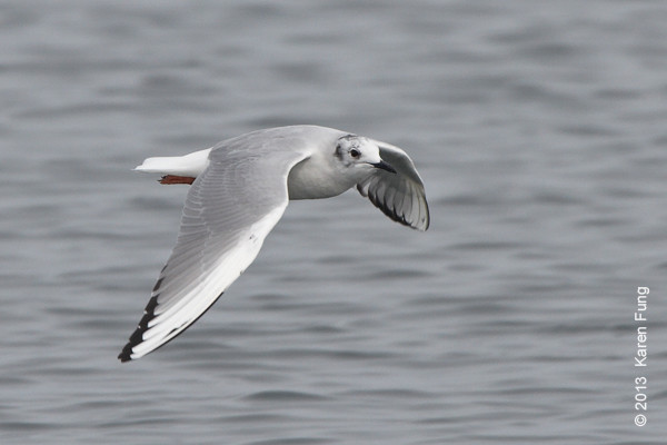 31 March: Bonaparte's Gull at Jones Beach CGS