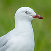 Red-billed Gull, Auckland, New Zealand