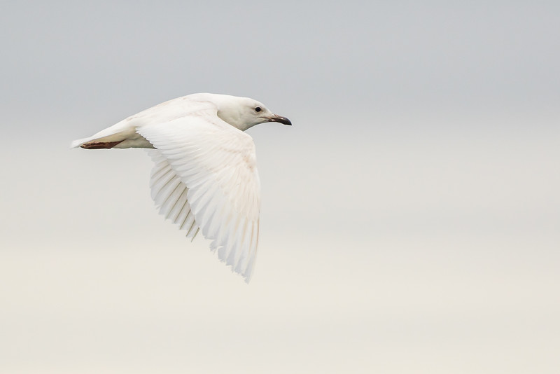 Iceland Gull, Trout River, Newfoundland