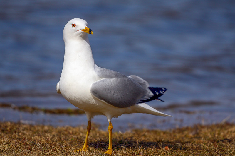 Ring-billed Gull, Riverside Park, Belleville, Ontario