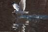 Gull fishing late winter afternoon at Burke Lake Park.