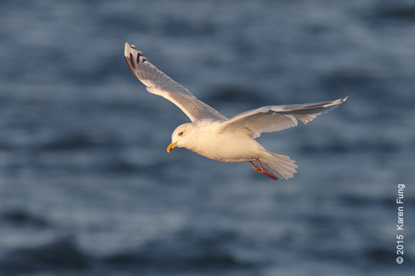 11 Jan: Iceland Gull on the Freeport pelagic
