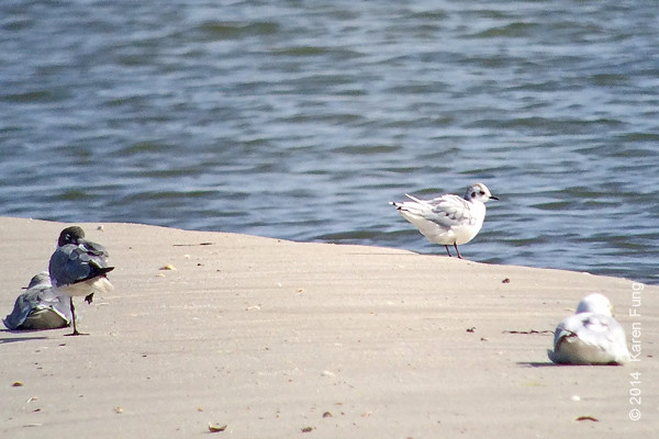 10 August: Probable Little Gull at the Jones Beach CGS.  Digiscoped with the iPhone.