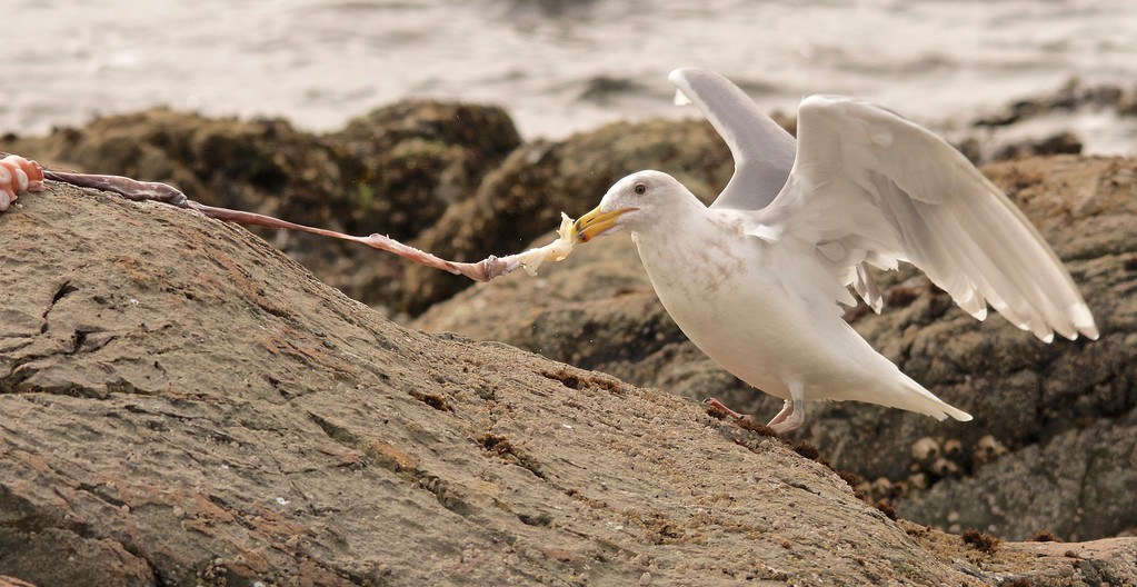 Glaucous-winged Gull and octopus