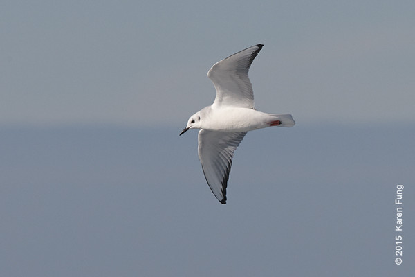 11 Jan: Bonaparte's Gull on the Freeport pelagic