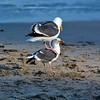 Western Gull (Larus occidentalis)