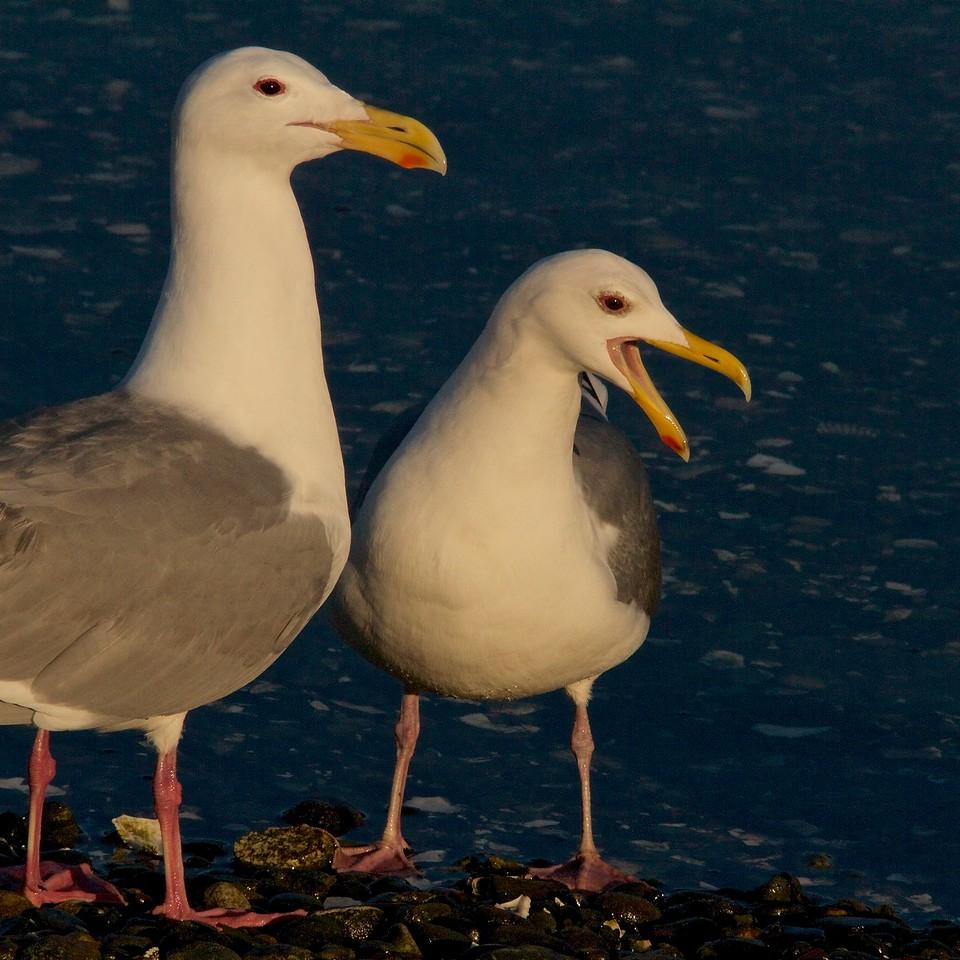 Glaucous-winged Gulls