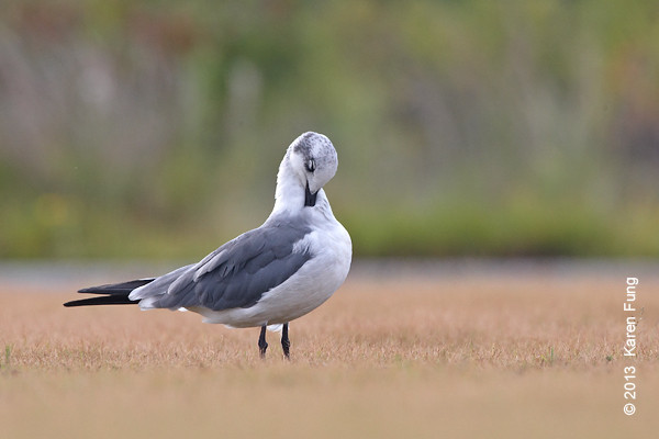 5 Sept: Laughing Gull at Jones Beach