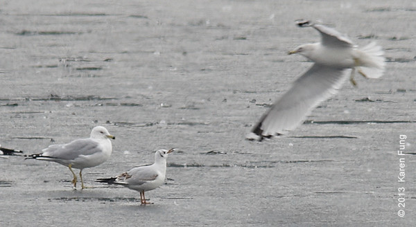 30 January: 1st winter Black-headed Gull in Central Park (Reservoir), found by Ken Chaya