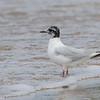 Little Gull, North Beach Provincial Park, Ontario