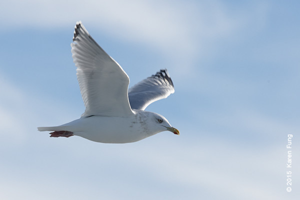 11 Jan:  Mystery gull (Herring/Iceland/Thayer's complex)