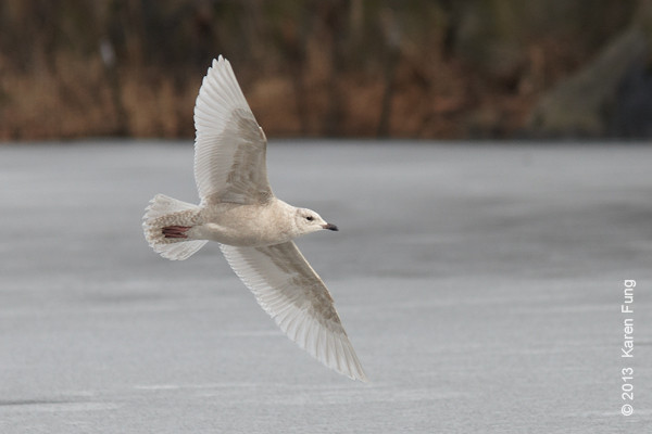 16 February: Iceland Gull in Central Park (Lake)