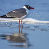 Laughing Gull, Bolivar Flats Shorebird Sanctuary, Texas
