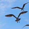 Heermann's Gull (Larus heermanni)