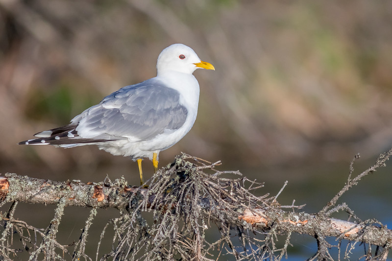 Mew Gull, Tetlin National Wildlife Refuge, Alaska