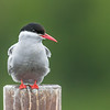 Arctic Tern, Potter Marsh Bird Sanctuary, Anchorage, Alaska