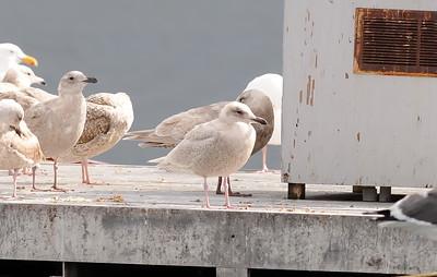 Kumlein's Gull, Otay Lakes, San Diego County