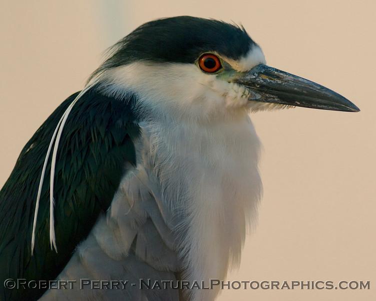 Nyticorax nycticorax black crowned night heron 2008 06-25 SB Har bor--002modCROP